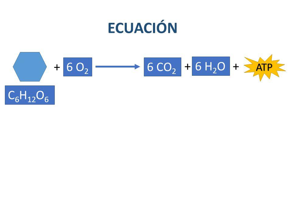 ECUACIÓN ATP + 6 O2 6 CO2 + 6 H2O + C6H12O6
