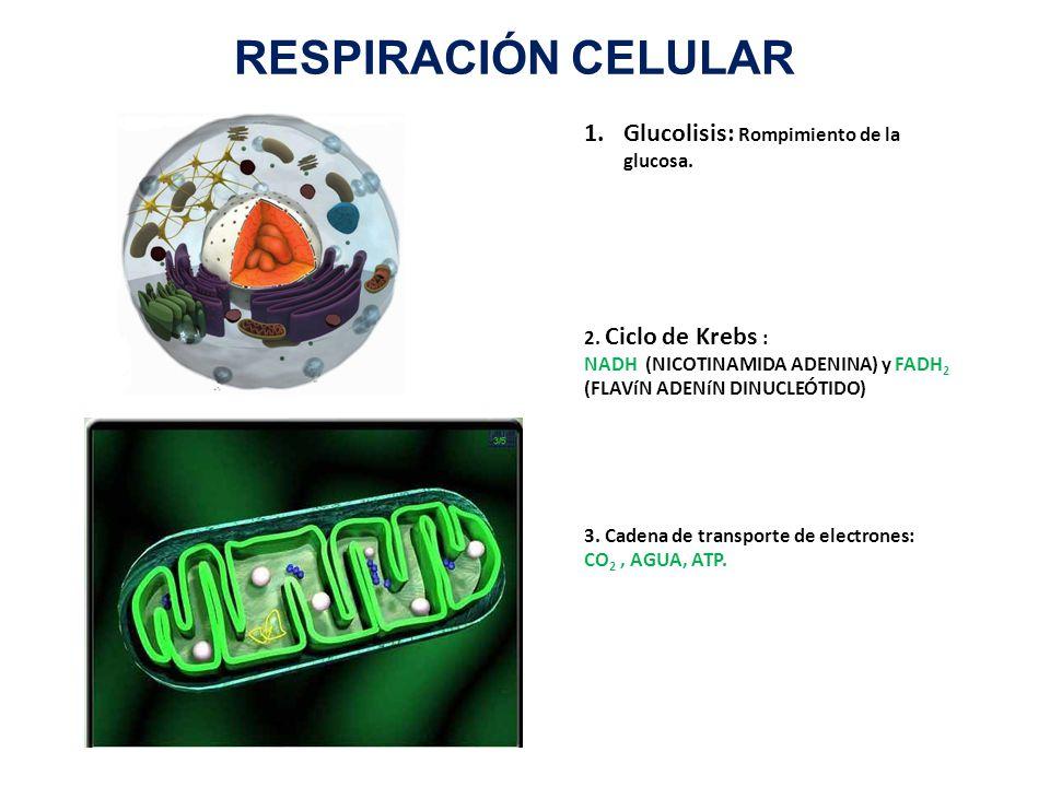 RESPIRACIÓN CELULAR Glucolisis: Rompimiento de la glucosa.