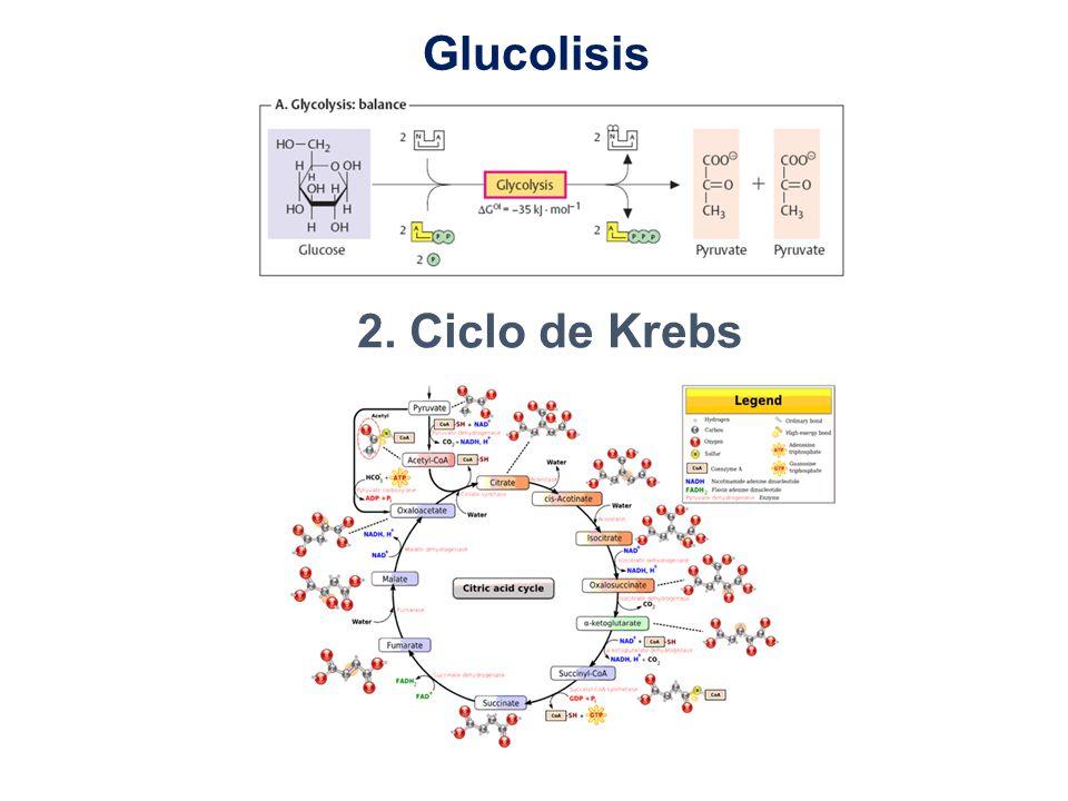 Glucolisis 2. Ciclo de Krebs