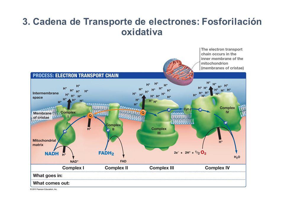 3. Cadena de Transporte de electrones: Fosforilación oxidativa