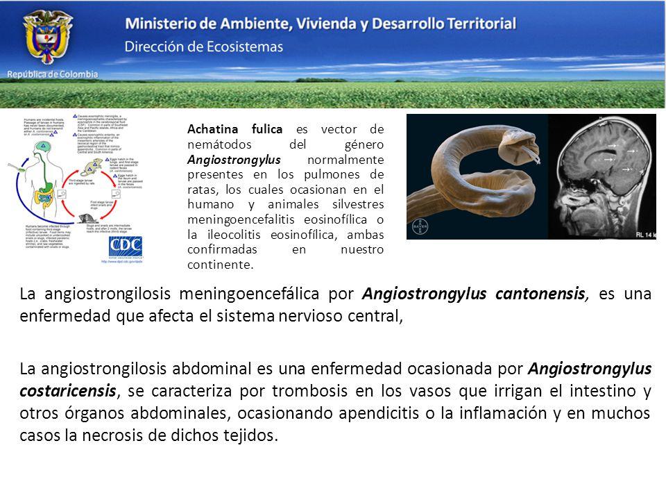 Achatina fulica es vector de nemátodos del género Angiostrongylus normalmente presentes en los pulmones de ratas, los cuales ocasionan en el humano y animales silvestres meningoencefalitis eosinofílica o la ileocolitis eosinofílica, ambas confirmadas en nuestro continente.