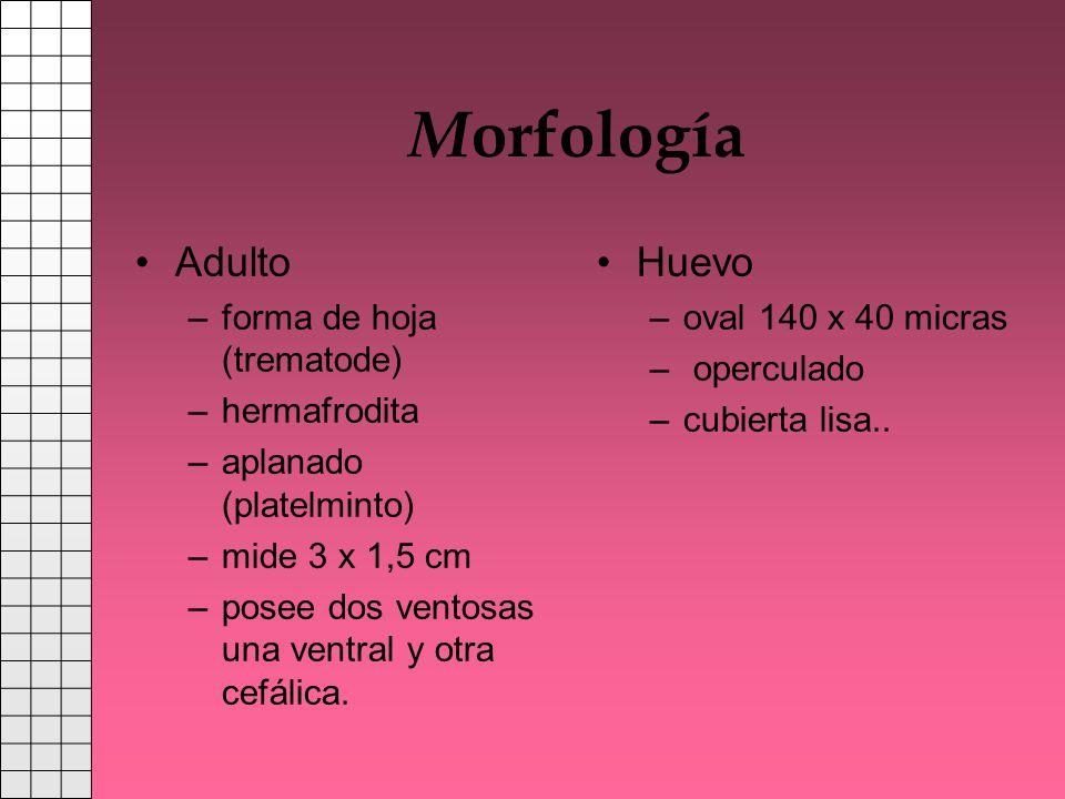 Morfología Adulto Huevo forma de hoja (trematode) hermafrodita