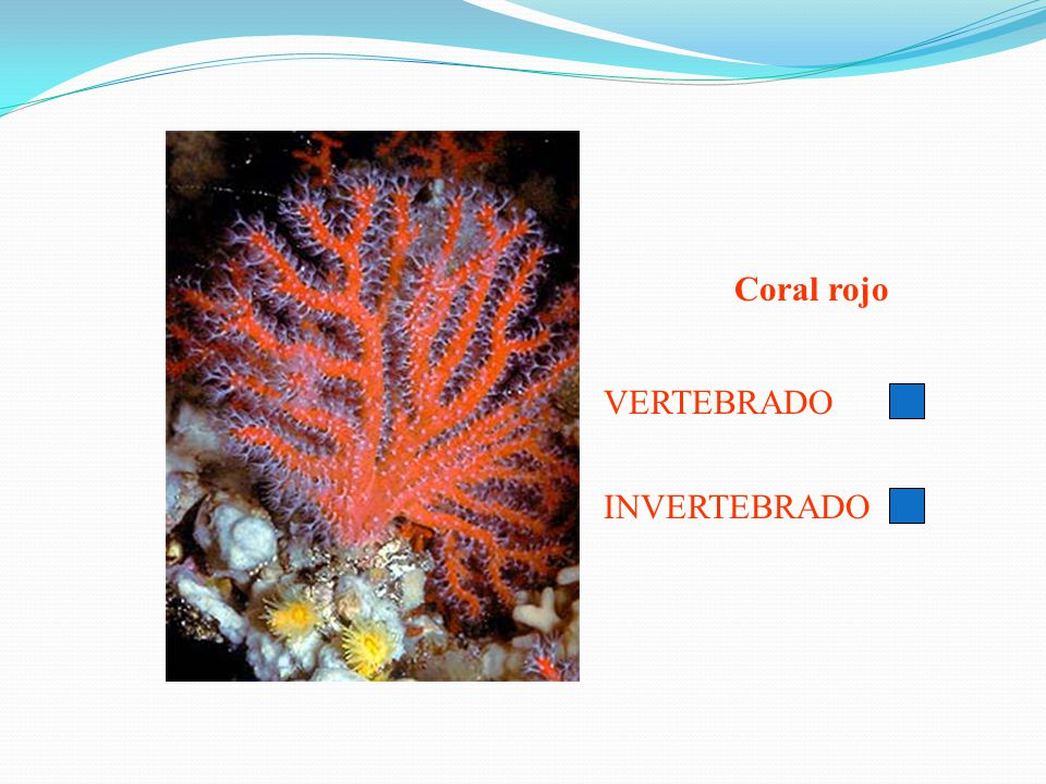 Coral rojo VERTEBRADO INVERTEBRADO