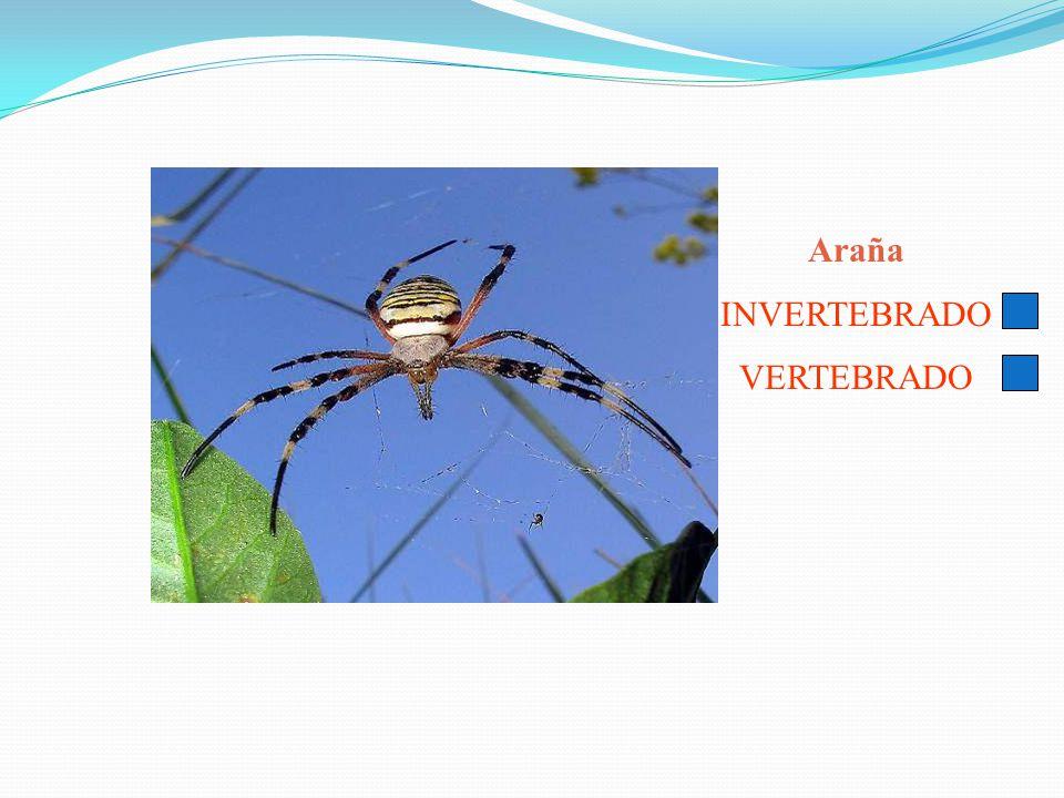 Araña INVERTEBRADO VERTEBRADO