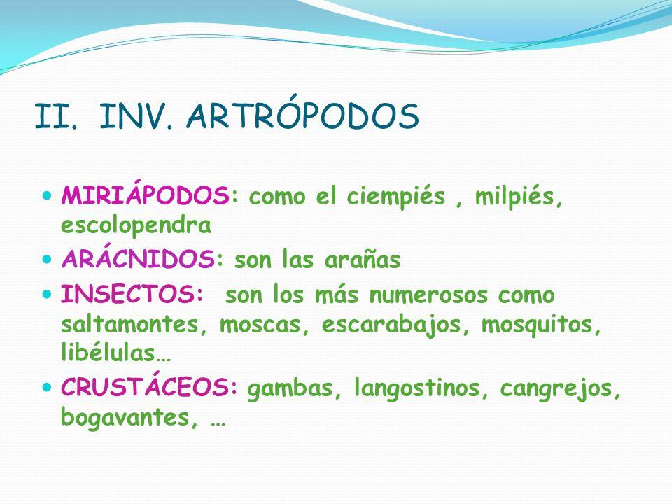 II. INV. ARTRÓPODOS MIRIÁPODOS: como el ciempiés , milpiés, escolopendra. ARÁCNIDOS: son las arañas.