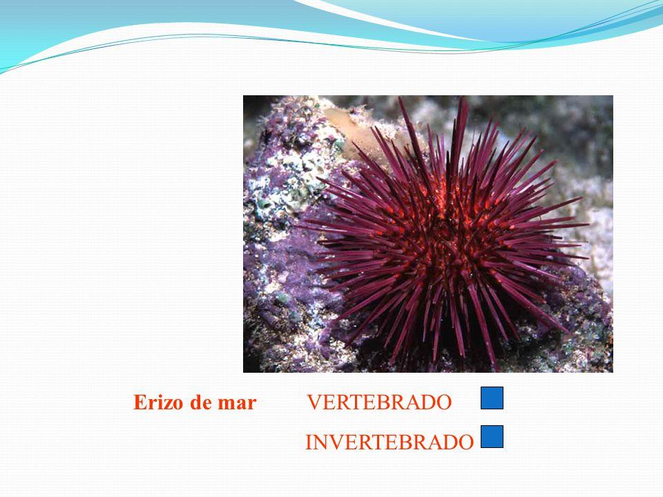 Erizo de mar VERTEBRADO