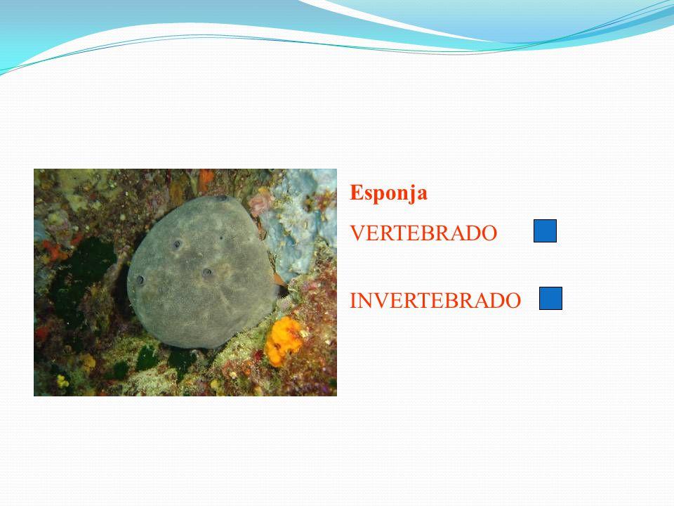 Esponja VERTEBRADO INVERTEBRADO