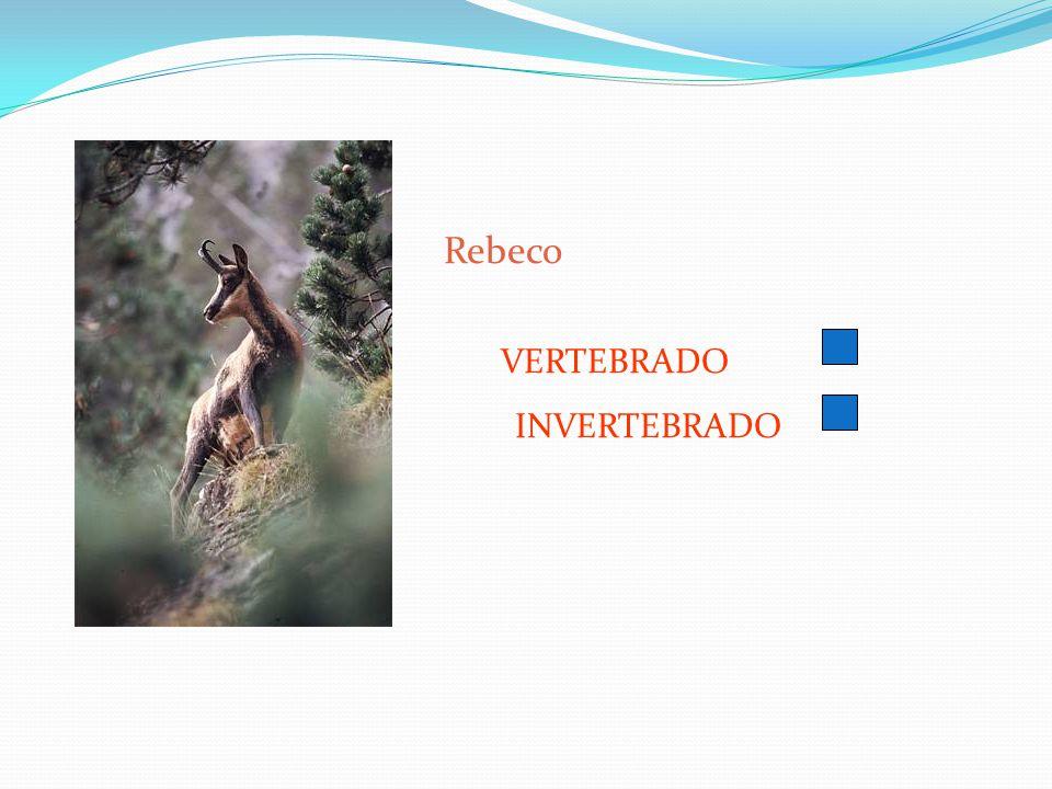Rebeco VERTEBRADO INVERTEBRADO