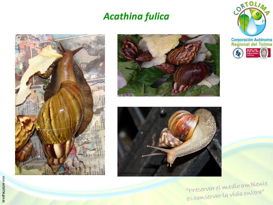 Acathina fulica