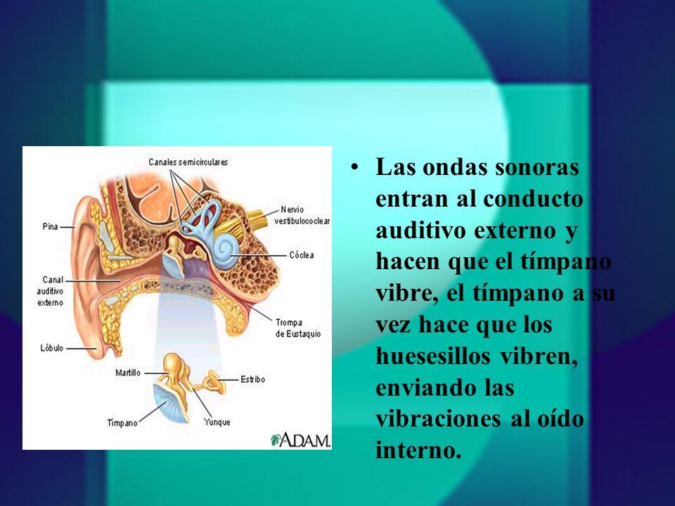 Las ondas sonoras entran al conducto auditivo externo y hacen que el tímpano vibre, el tímpano a su vez hace que los huesesillos vibren, enviando las vibraciones al oído interno.