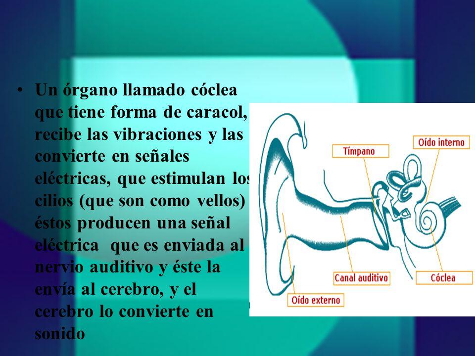 Un órgano llamado cóclea que tiene forma de caracol, recibe las vibraciones y las convierte en señales eléctricas, que estimulan los cilios (que son como vellos) éstos producen una señal eléctrica que es enviada al nervio auditivo y éste la envía al cerebro, y el cerebro lo convierte en sonido