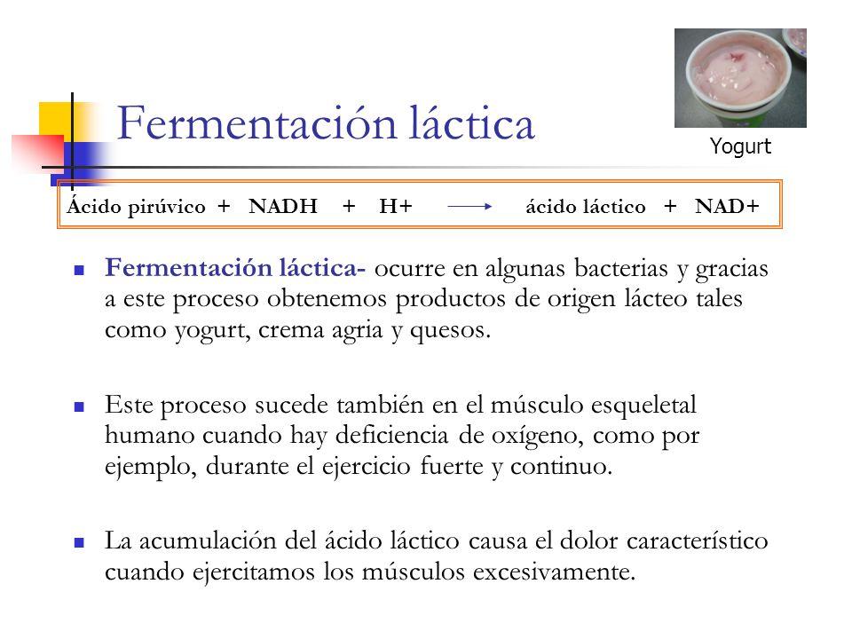 Fermentación láctica Yogurt. Ácido pirúvico + NADH + H+ ácido láctico + NAD+