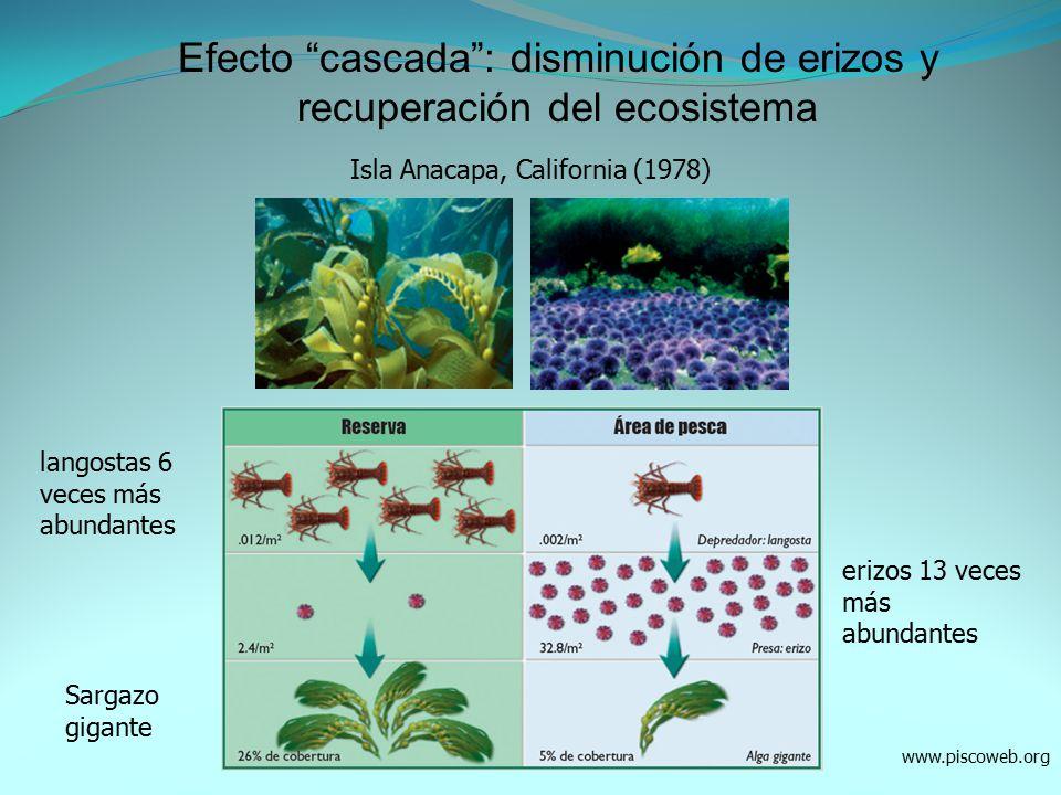 Efecto cascada : disminución de erizos y recuperación del ecosistema
