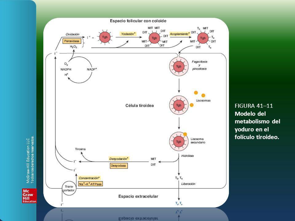 FIGURA 41–11 Modelo del metabolismo del yoduro en el folículo tiroideo.
