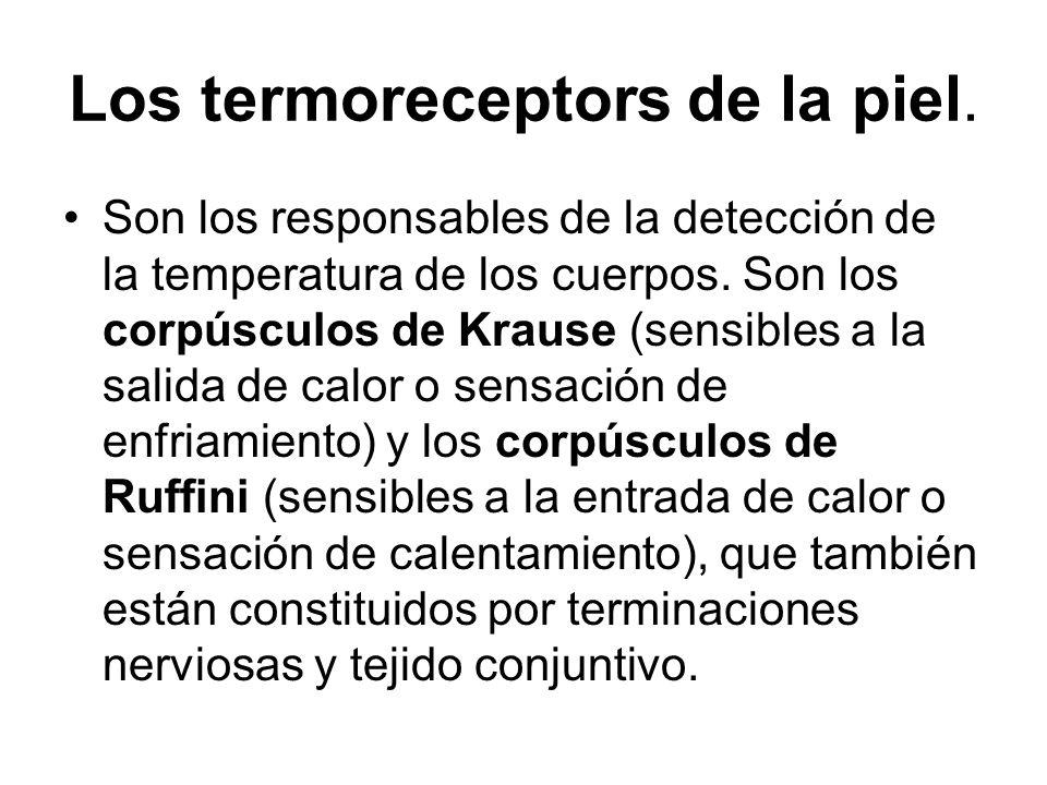Los termoreceptors de la piel.