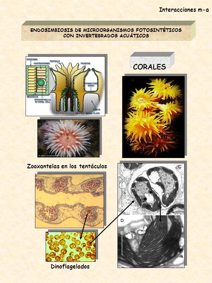 CORALES Interacciones m-a Zooxantelas en los tentáculos Dinoflagelados