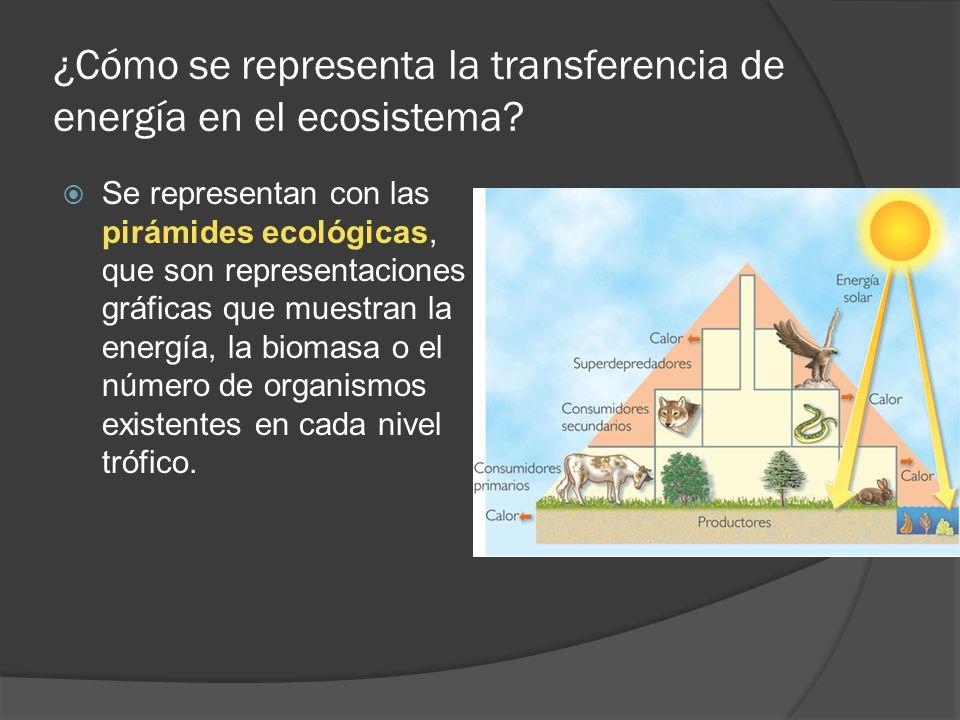 ¿Cómo se representa la transferencia de energía en el ecosistema