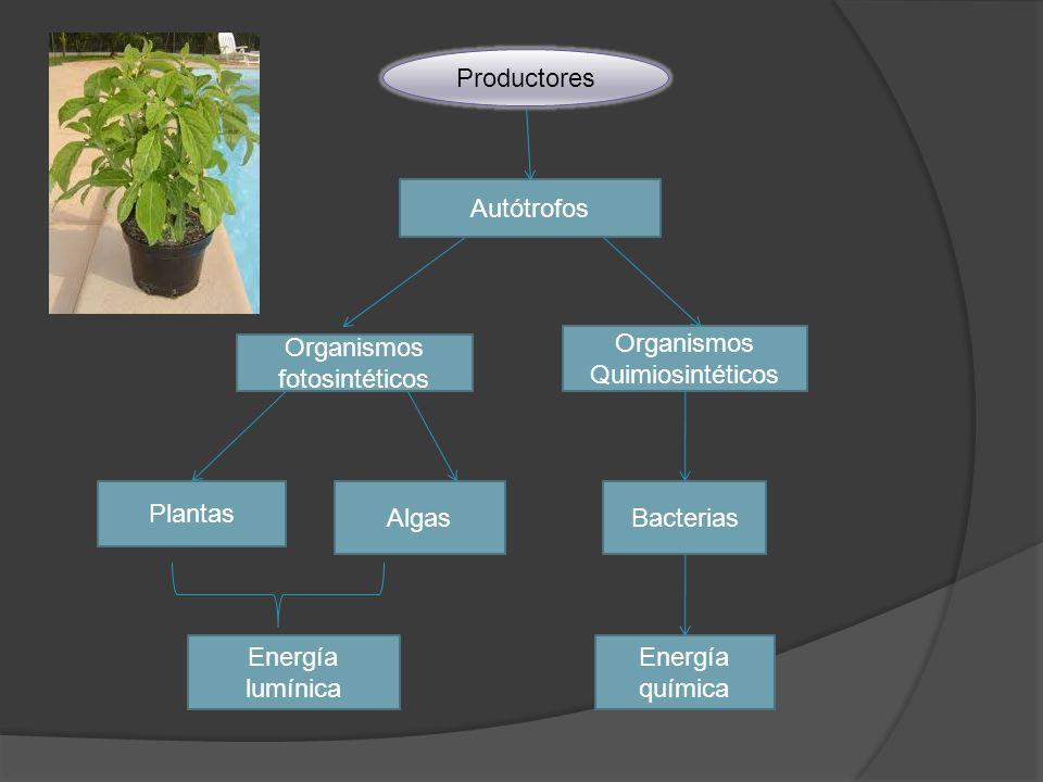Organismos Quimiosintéticos Organismos fotosintéticos