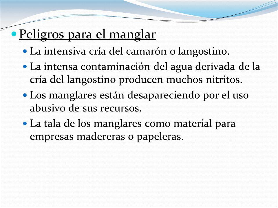 Peligros para el manglar La intensiva cría del camarón o langostino.