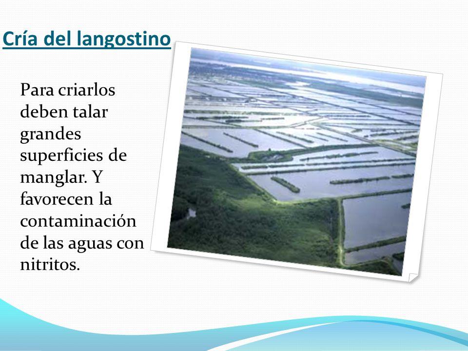 Cría del langostino Para criarlos deben talar grandes superficies de manglar.