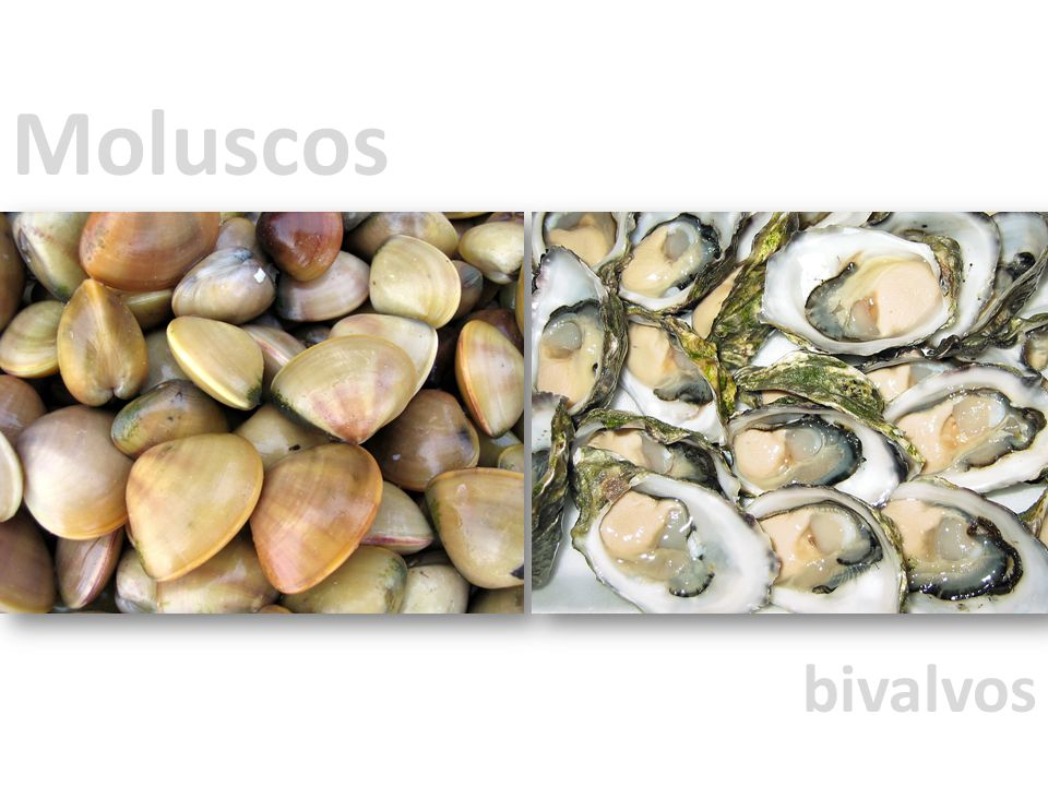Moluscos bivalvos