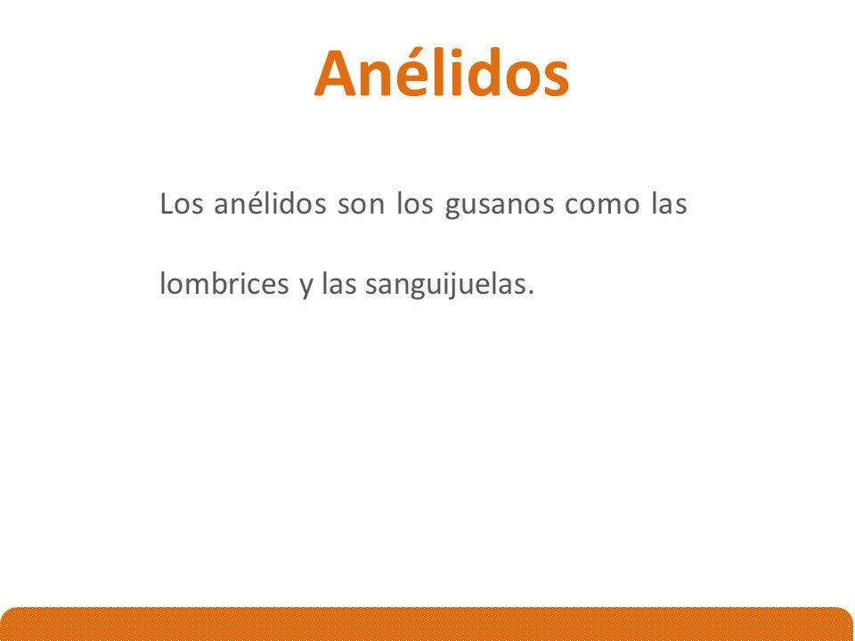Anélidos Los anélidos son los gusanos como las lombrices y las sanguijuelas.