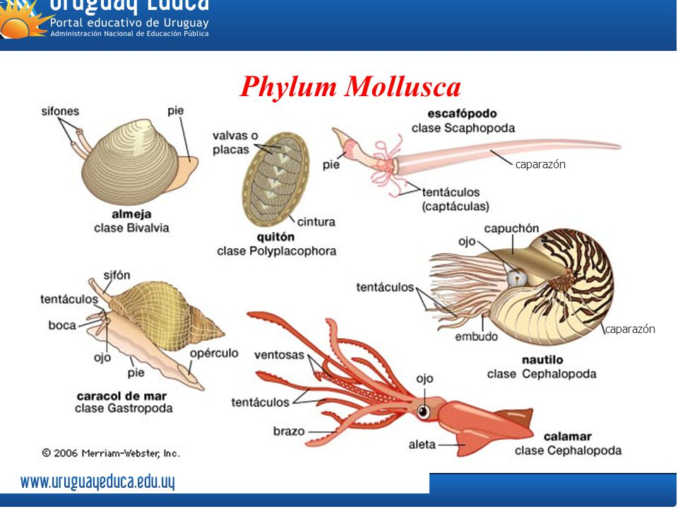 the phylum mollusca Most animals within the mollusca phylum have an open circulatory system cephalopods have a closed circulatory system within a open circulatory system blood is not restricted to circulating within the blood vessels.