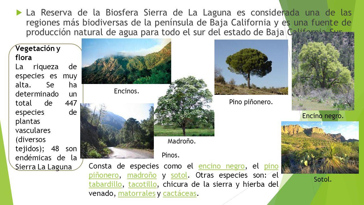La Reserva de la Biosfera Sierra de La Laguna es considerada una de las regiones más biodiversas de la península de Baja California y es una fuente de producción natural de agua para todo el sur del estado de Baja California Sur.
