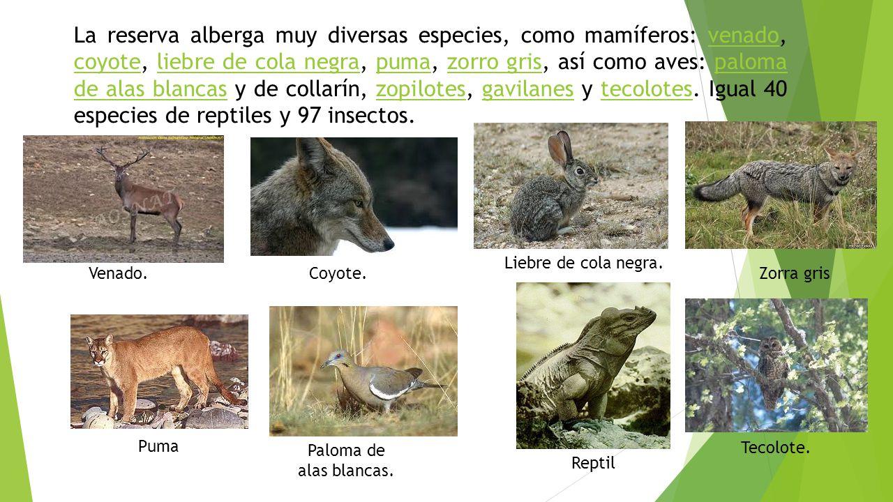 La reserva alberga muy diversas especies, como mamíferos: venado, coyote, liebre de cola negra, puma, zorro gris, así como aves: paloma de alas blancas y de collarín, zopilotes, gavilanes y tecolotes. Igual 40 especies de reptiles y 97 insectos.