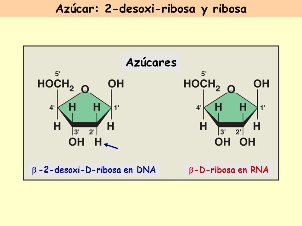 Azúcar: 2-desoxi-ribosa y ribosa b -2-desoxi-D-ribosa en DNA