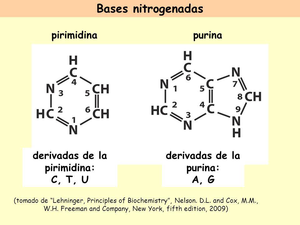 derivadas de la pirimidina: derivadas de la purina: