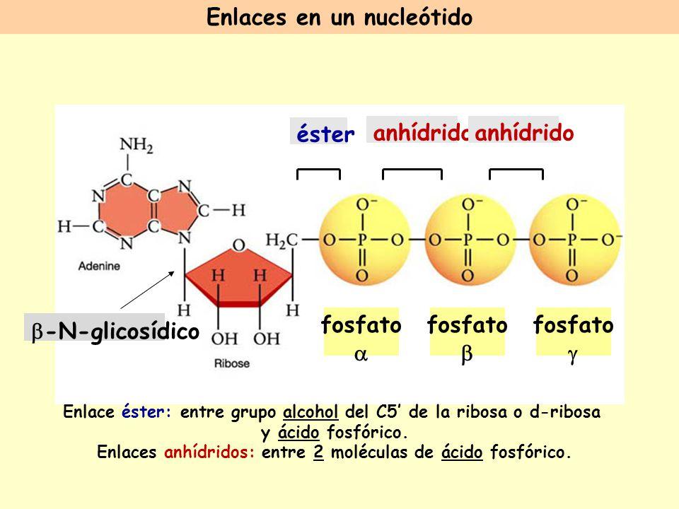Enlaces en un nucleótido