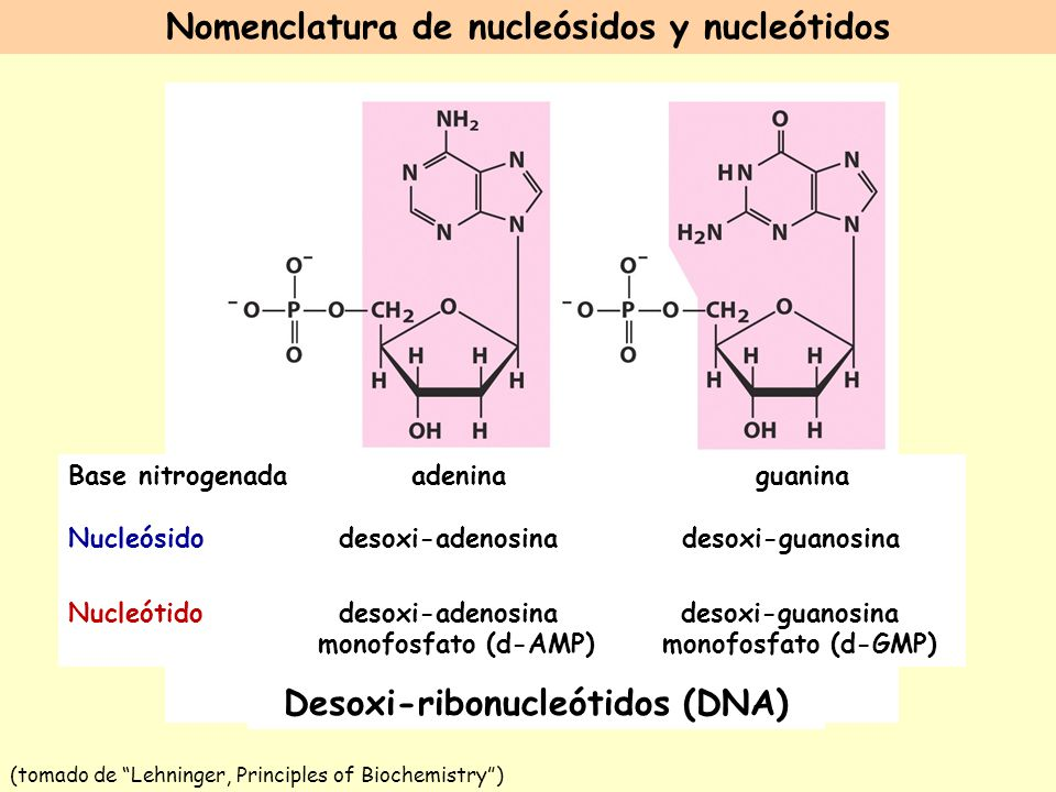 Nomenclatura de nucleósidos y nucleótidos Desoxi-ribonucleótidos (DNA)
