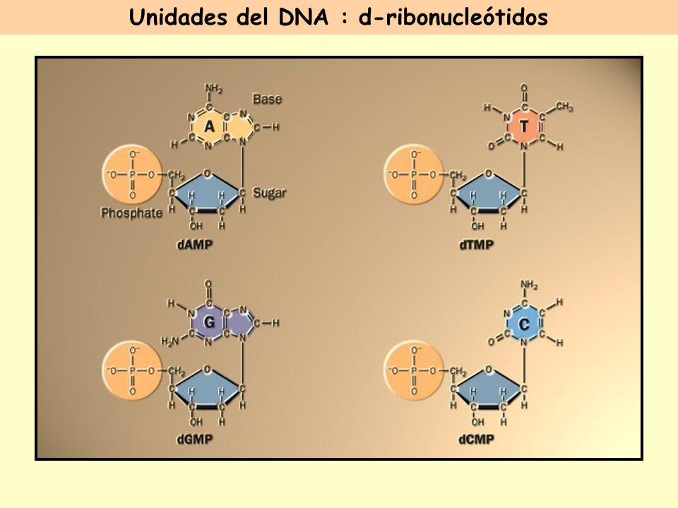 Unidades del DNA : d-ribonucleótidos