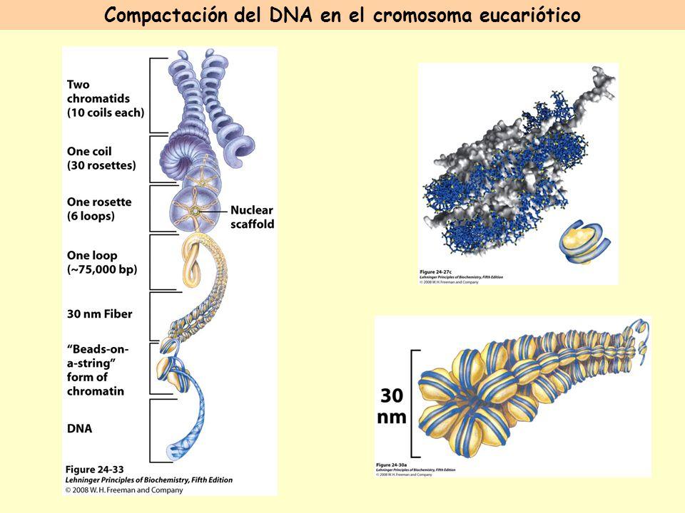 Compactación del DNA en el cromosoma eucariótico