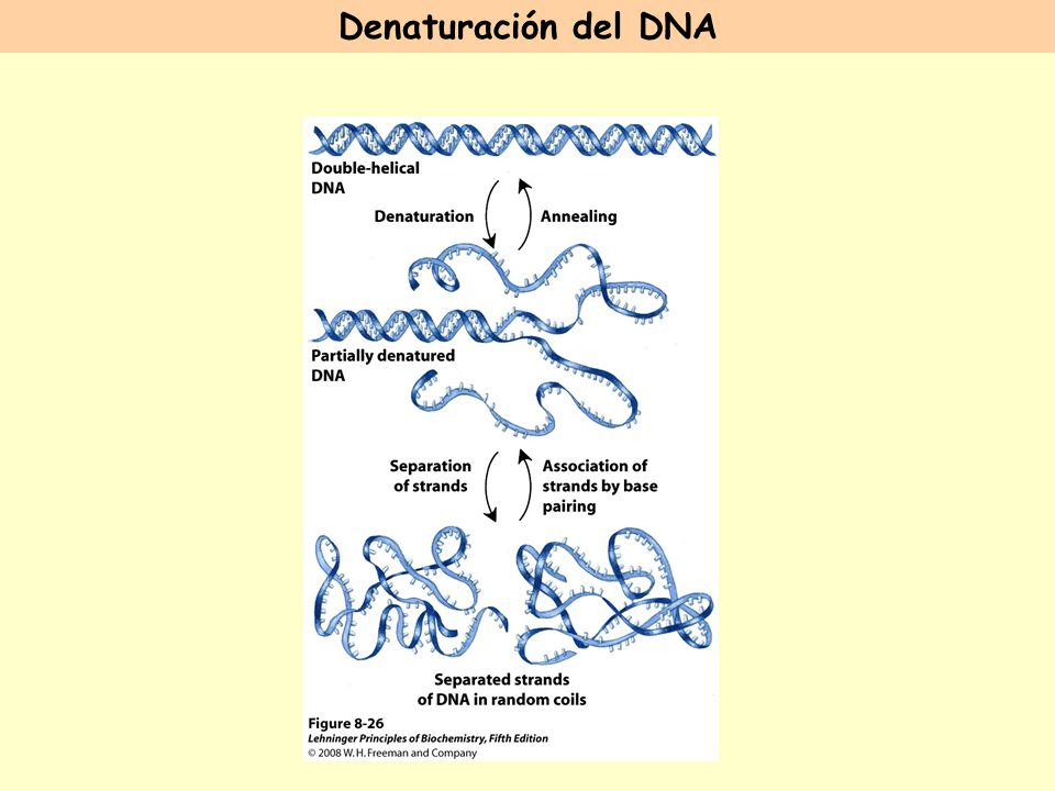 Denaturación del DNA FIGURE 8-26 Reversible denaturation and annealing (renaturation) of DNA.