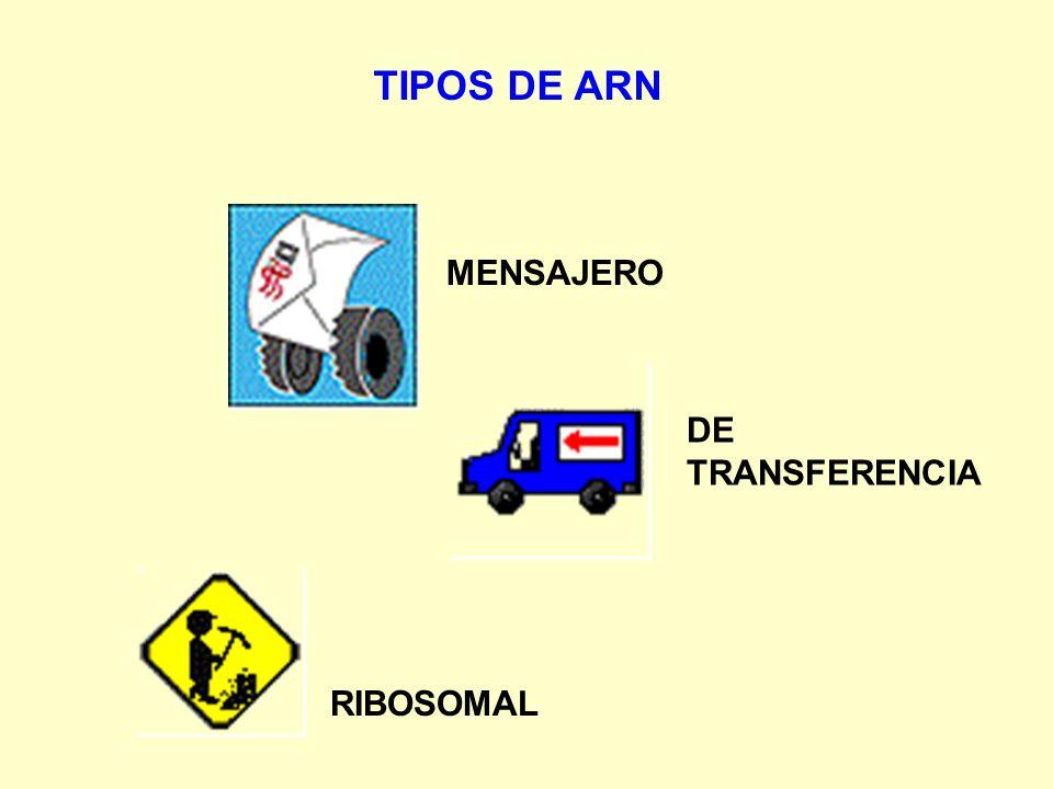 TIPOS DE ARN MENSAJERO DE TRANSFERENCIA RIBOSOMAL