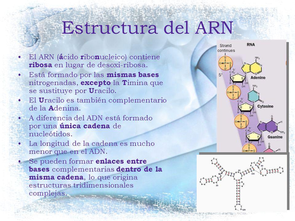 Estructura del ARN El ARN (ácido ribonucleico) contiene ribosa en lugar de desoxi-ribosa.