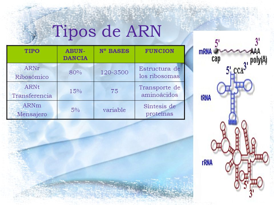 Tipos de ARN TIPO ABUN-DANCIA Nº BASES FUNCION ARNr Ribosómico 80%