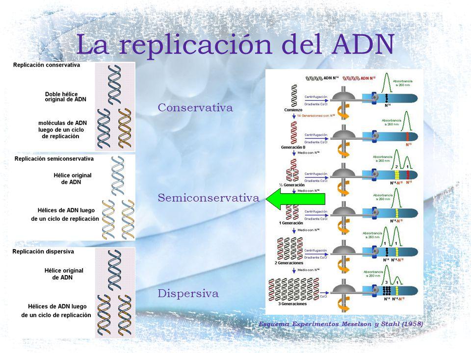 La replicación del ADN Conservativa Semiconservativa Dispersiva