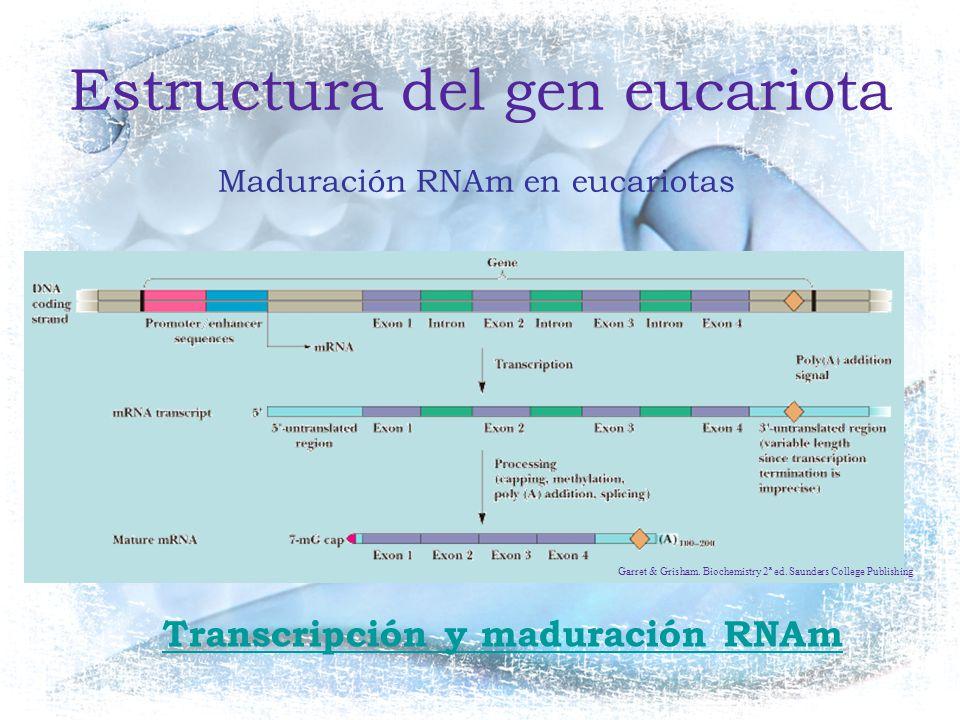 Estructura del gen eucariota
