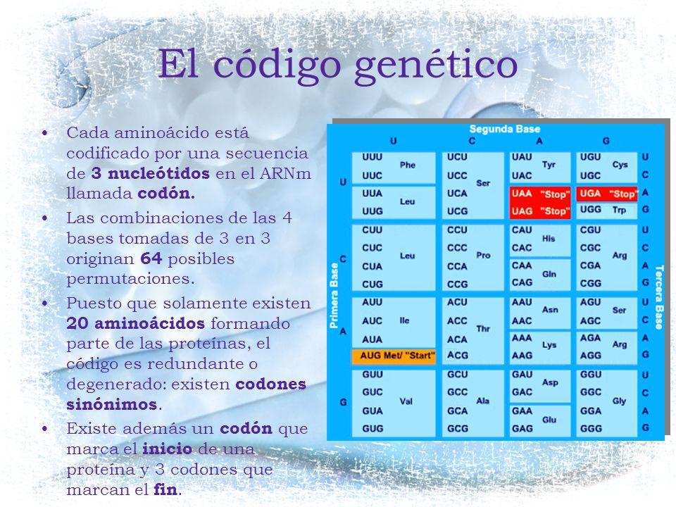 El código genético Cada aminoácido está codificado por una secuencia de 3 nucleótidos en el ARNm llamada codón.