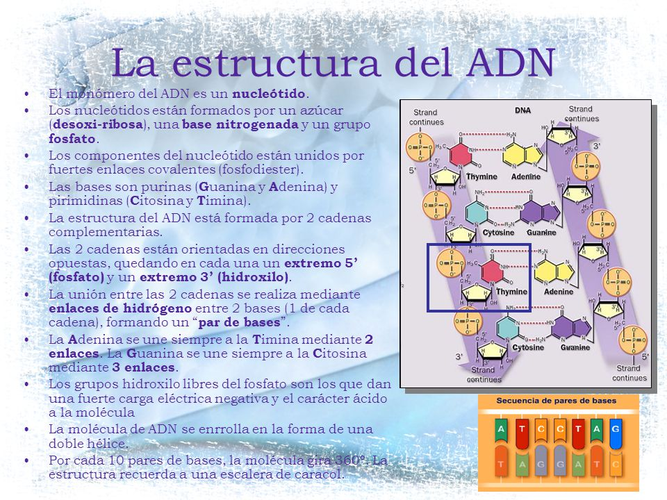 La estructura del ADN El monómero del ADN es un nucleótido.