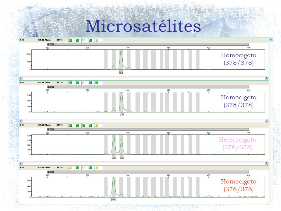 Microsatélites Homocigoto (378/378) Homocigoto (378/378) Heterocigoto