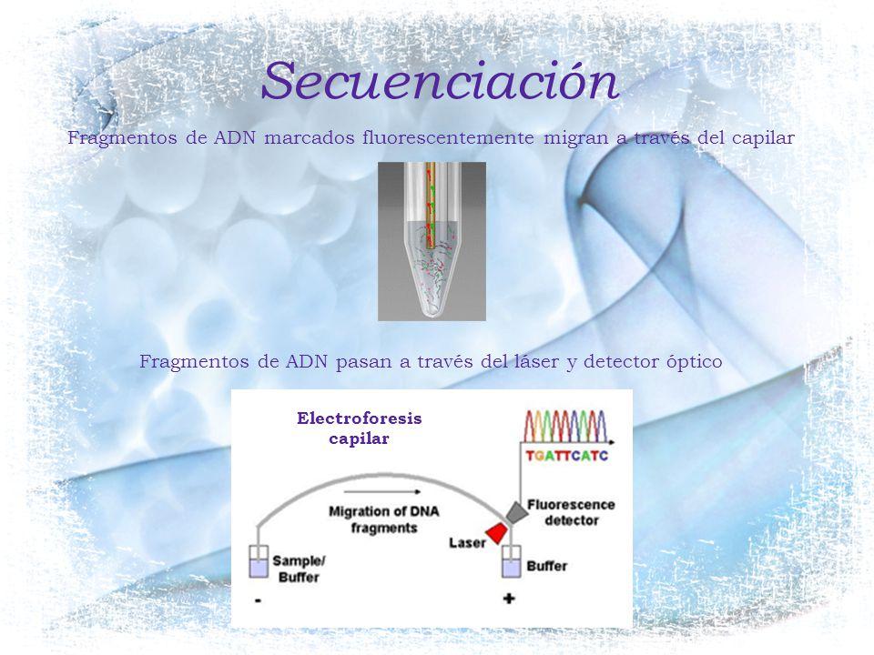 Secuenciación Fragmentos de ADN marcados fluorescentemente migran a través del capilar. Fragmentos de ADN pasan a través del láser y detector óptico.