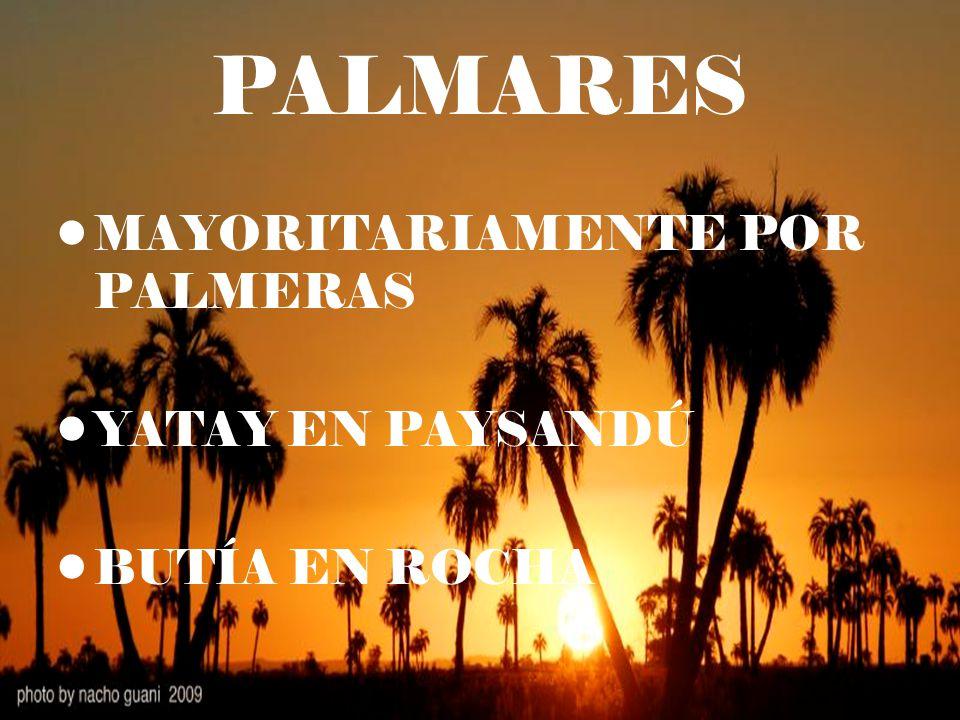 PALMARES MAYORITARIAMENTE POR PALMERAS YATAY EN PAYSANDÚ