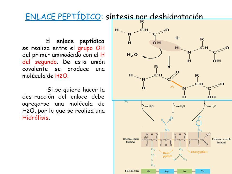 ENLACE PEPTÍDICO: síntesis por deshidratación