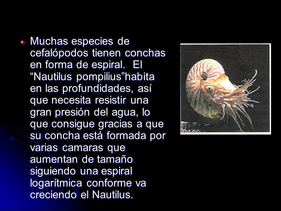 Muchas especies de cefalópodos tienen conchas en forma de espiral