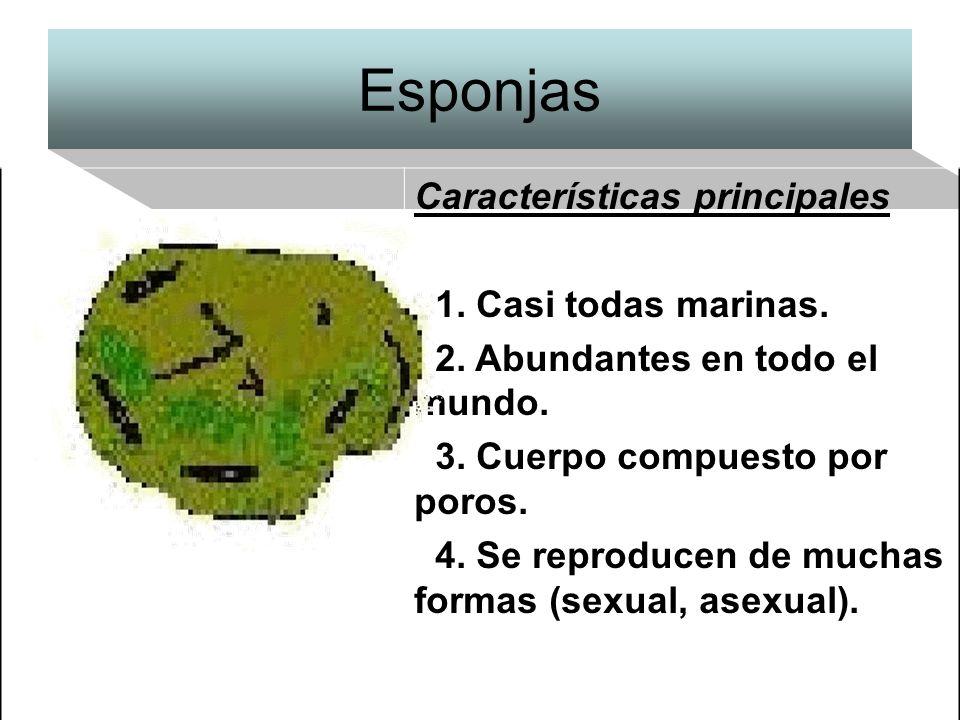 Esponjas Características principales 1. Casi todas marinas.