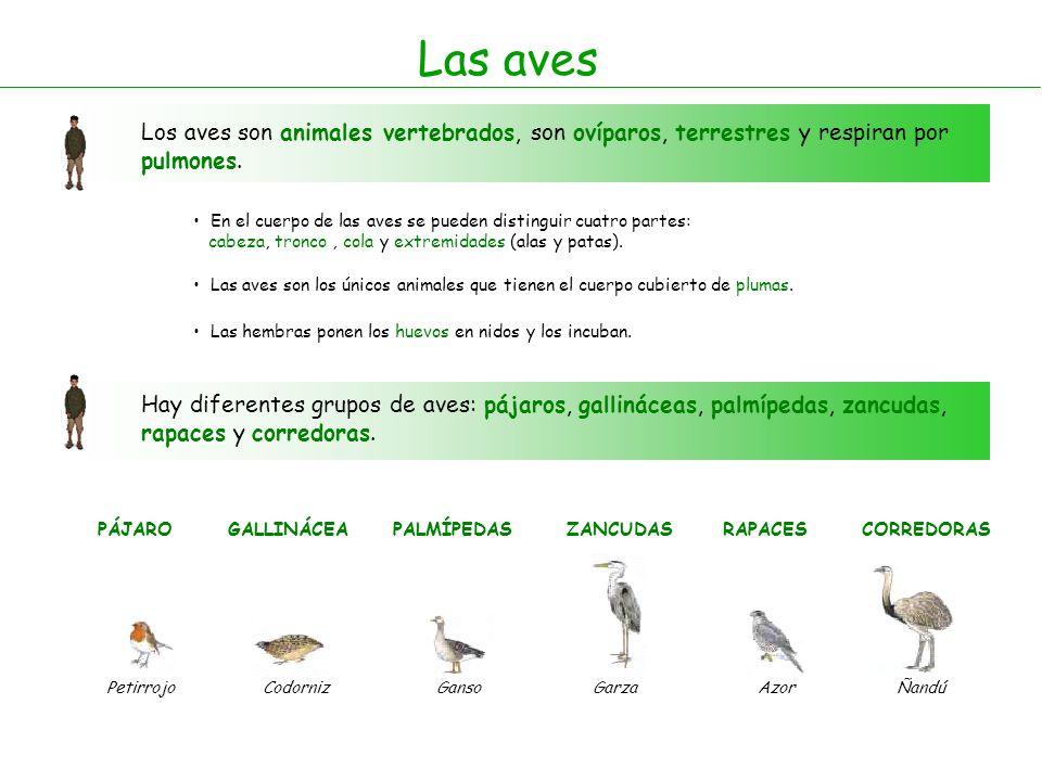 Las aves Los aves son animales vertebrados, son ovíparos, terrestres y respiran por pulmones.